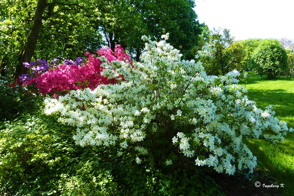 Gruga - Essen - Rhododendrontal