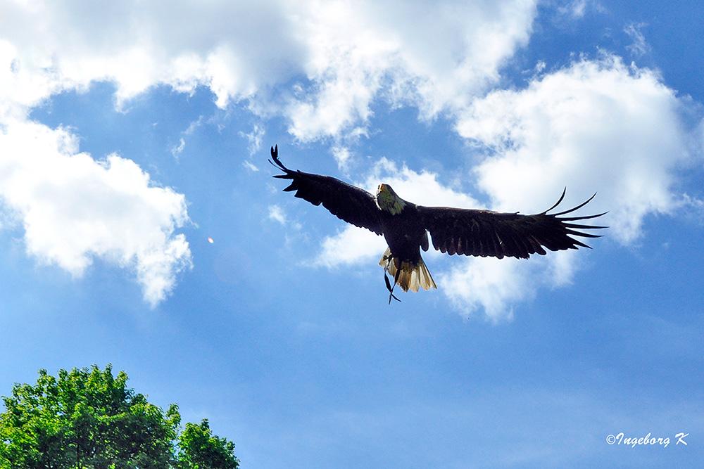 Gruga Essen - Weißkopfseeadler hoch in den Lüften