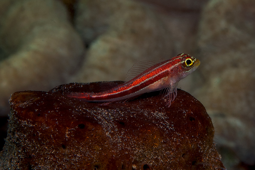 Grundel ROT (Goby red)