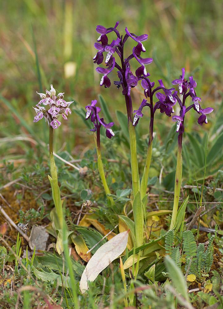 Gruppe mit Orchis lactea (links) undOrchis longicornu