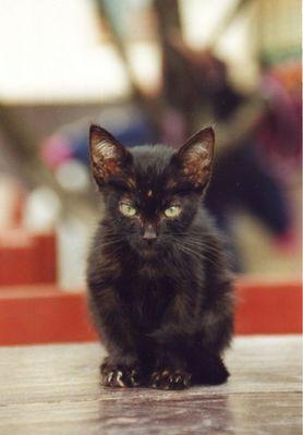 guatemaltekische Mitze-Katze