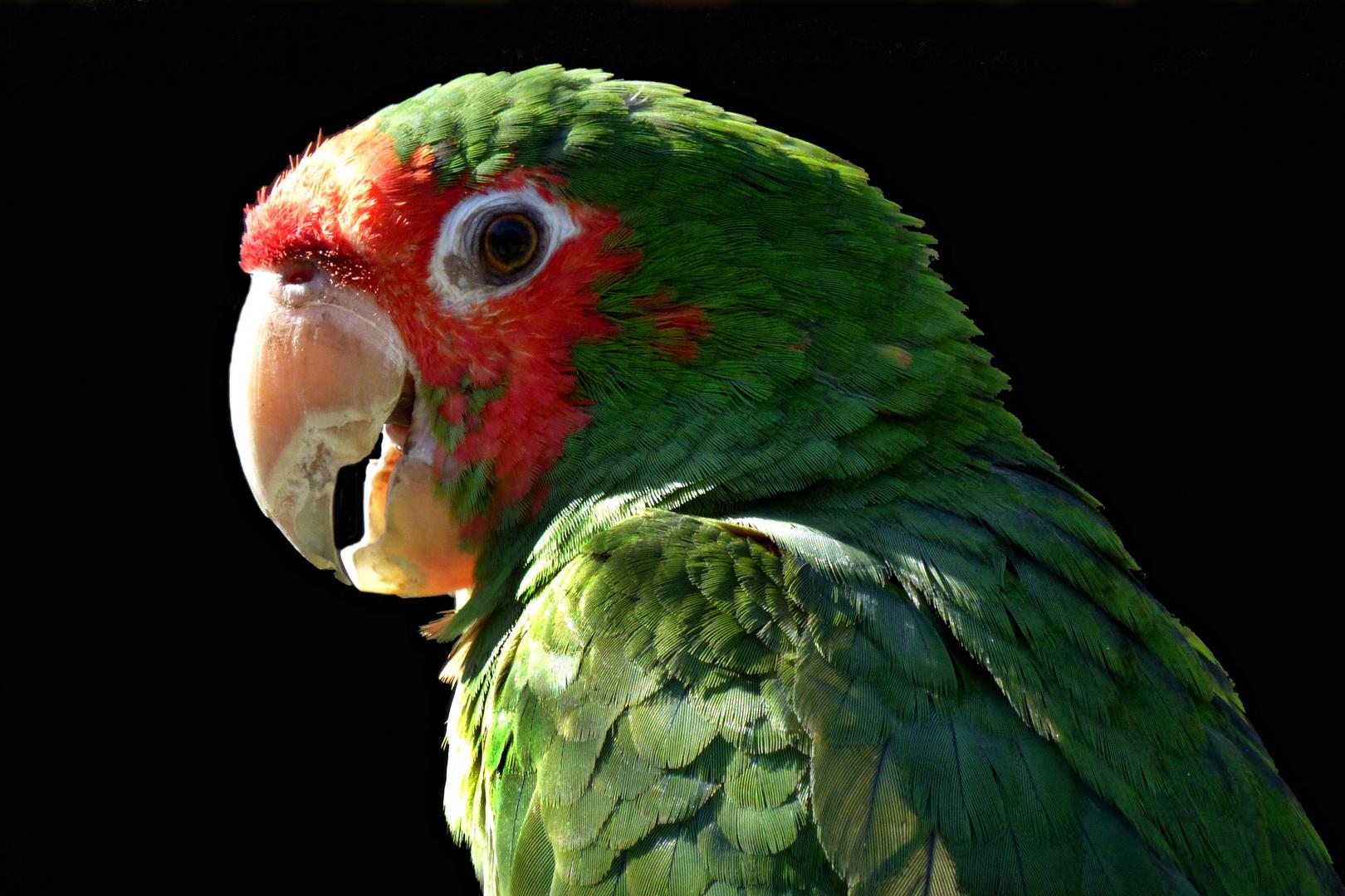 Guayaquilsittich (Zoo Neuwied)