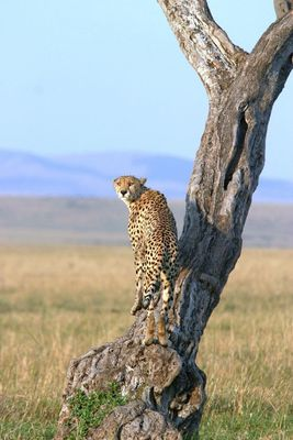 Guépard (Cheetah) - Masai Mara / Kenya