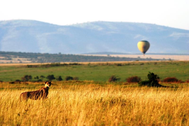 Guépard et montgolfière (Cheetah with ballon) - Masai Mara / Kenya