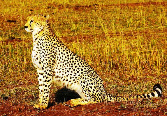 Guépard, Masaï Mara, Kenya