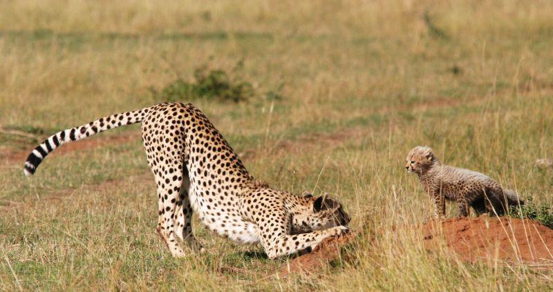 Guépards (Cheetah) - Masai Mara / Kenya - L'enfant roi !