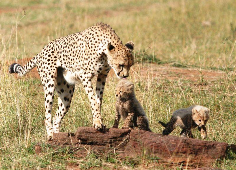 Guépards (Cheetah) - Masai Mara / Kenya - Tendresse !