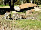 Guépards Dubbo - Parc animalier de 900 hectares Australie
