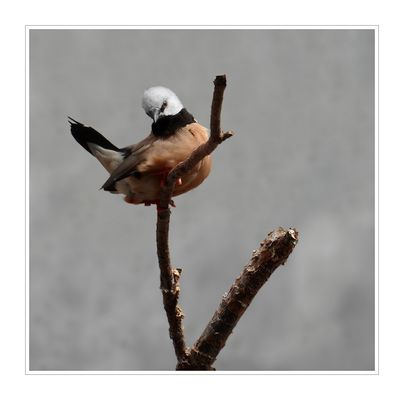 Gürtelgrasfink - Poephila cincta