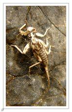 gueule de scorpion