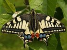 guilleret bijou nature - Papilio machaon