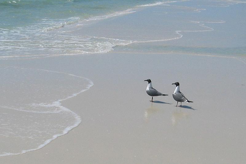 Gull Pair