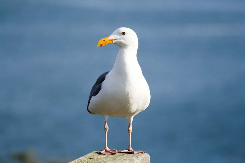 gull, Salt Point State Park, Sonoma, California