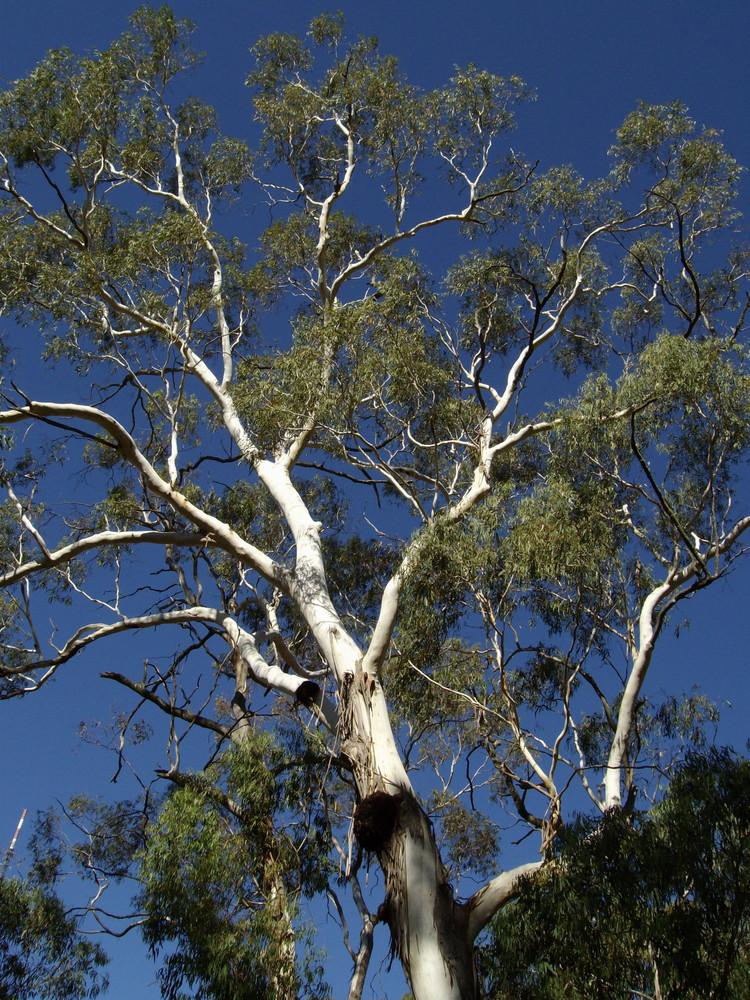 gum tree eucalyptus baum central victoria aus foto. Black Bedroom Furniture Sets. Home Design Ideas