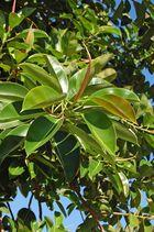 Gummibaum (Ficus)