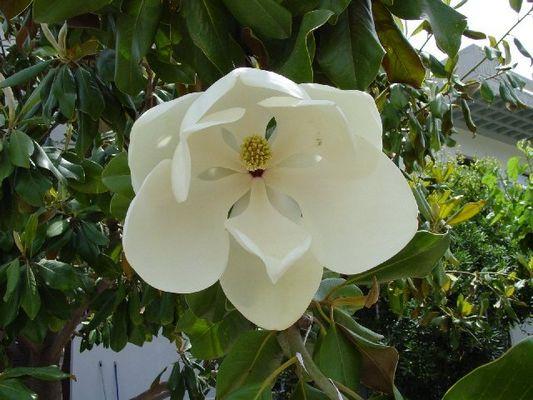 Gummibaumblüte gesehen auf Kreta 2004