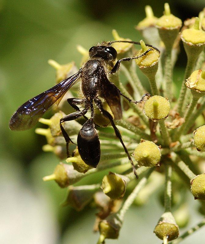 Guêpe ( Isodontia mexicana )