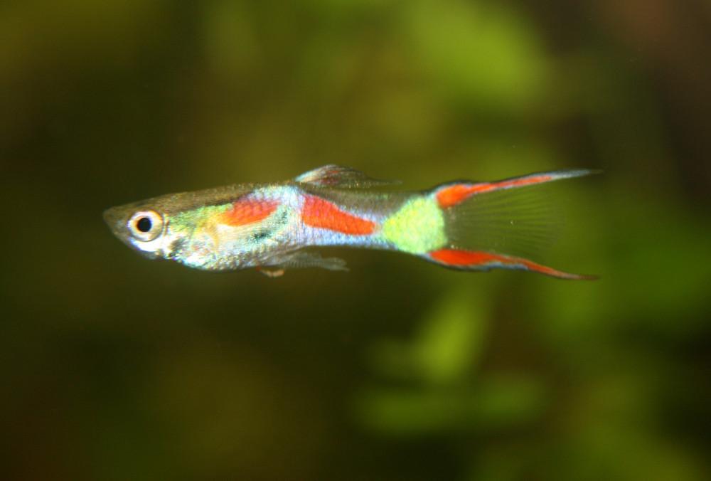 guppi- fisch im aquarium