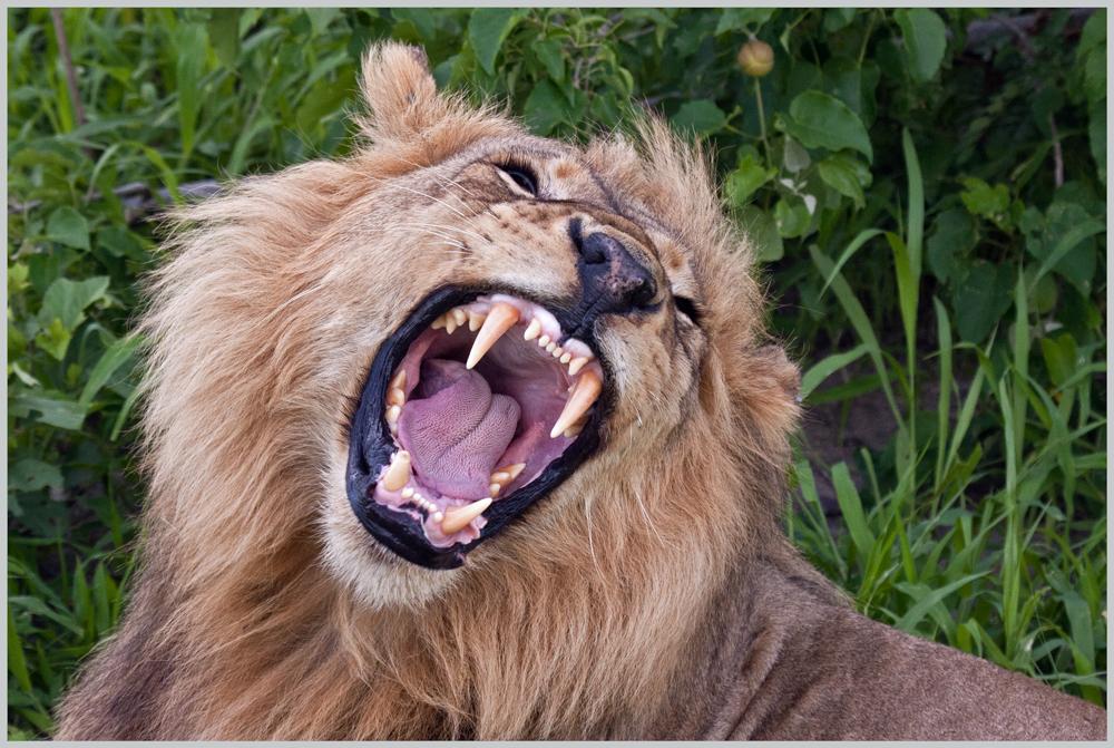 Gut gebrüllt, Löwe!