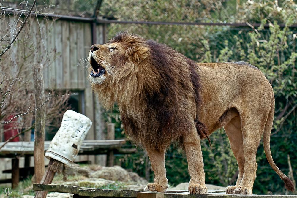 gut gebrüllt löwe