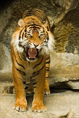 gut gebrüllt, Tiger
