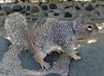 gut getarnt 1 - graues Hörnchen in Arizona