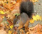 gut getarnt 2 - Eichhörnchen in Wien
