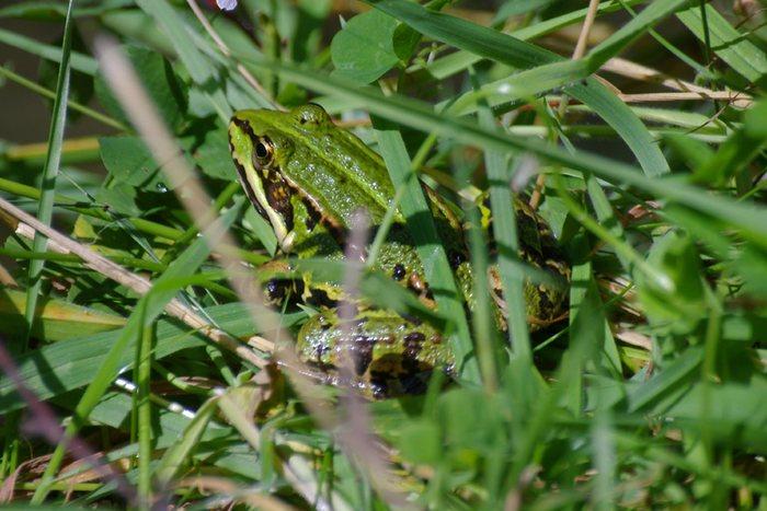 Gut getarnt - Frosch im Gras