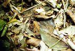 Gut getarnt im Urwald von Costa Rica