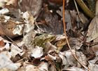 Gut getarnt und sich gefunden! Frühlingsgefühle ,zwei Erdkröten.