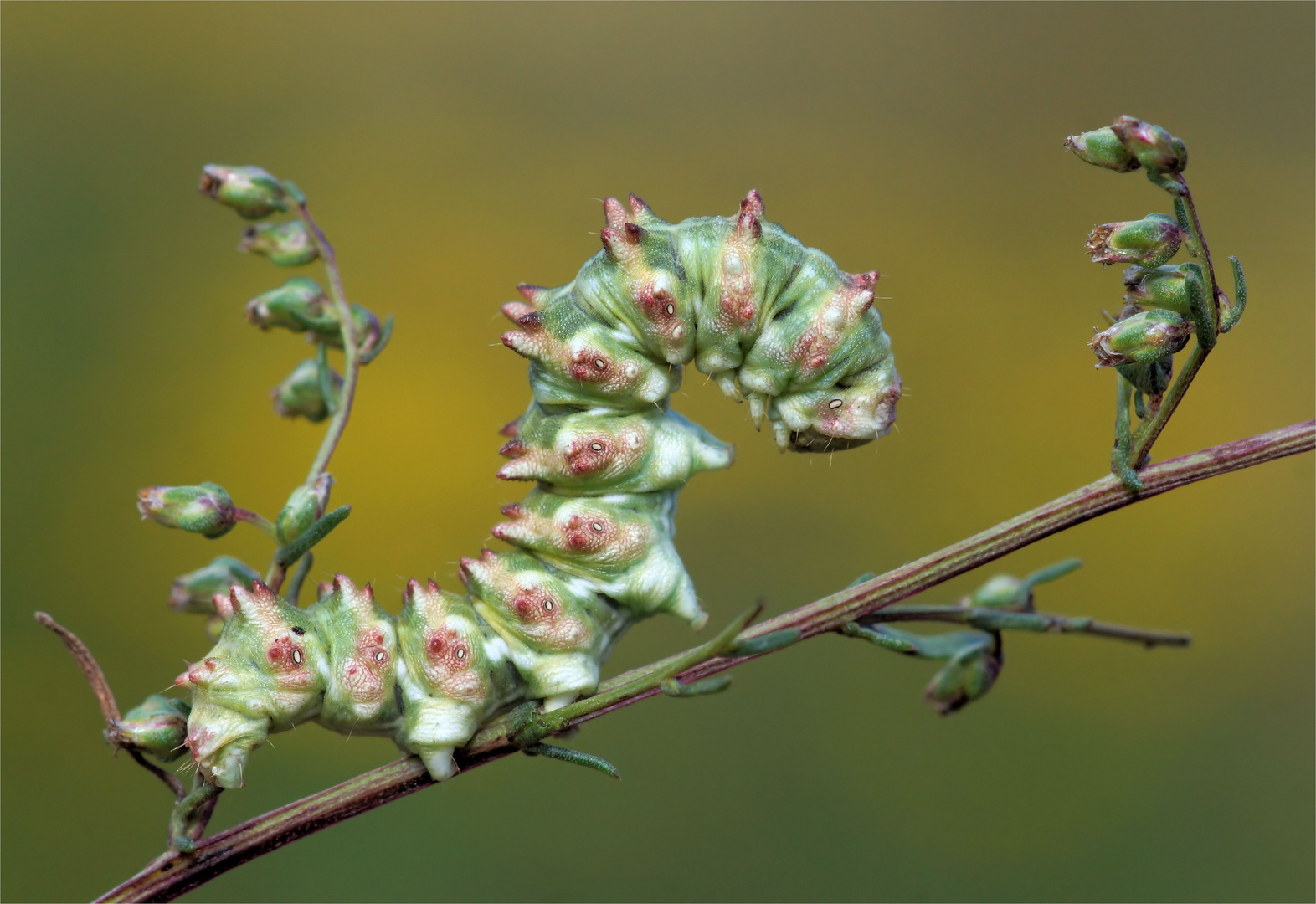 Gut getarnt zwischen den Knospen.... Feldbeifuß-Mönch (Cucullia artemisiae), Raupe