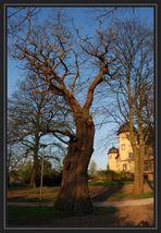 Gut Hohen Luckow, ca. 300 Jahre alte Marone (Esskastanie)