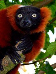Gute Aussicht von hier oben - Lemure (Mohrenmaki)