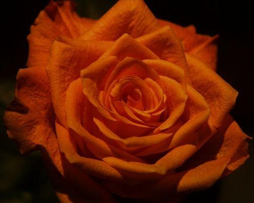 Gute Besserungs Rose