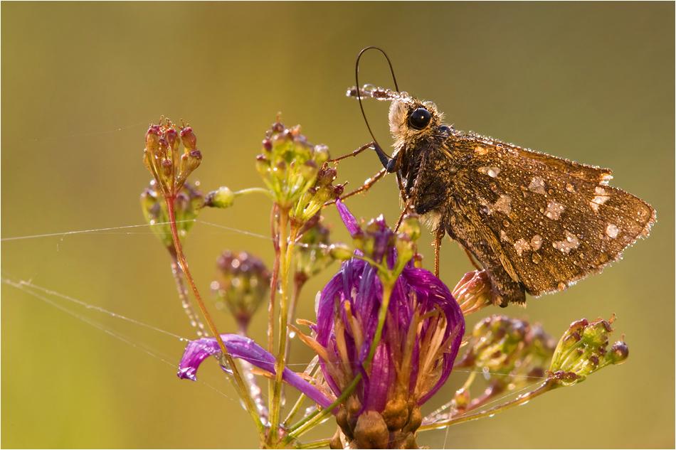 Guten Morgen, kleiner Schmetterling (4) oder: Hüh, meine Pferdchen! :)