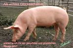 Guten Rutsch von einem echten Glücksschwein