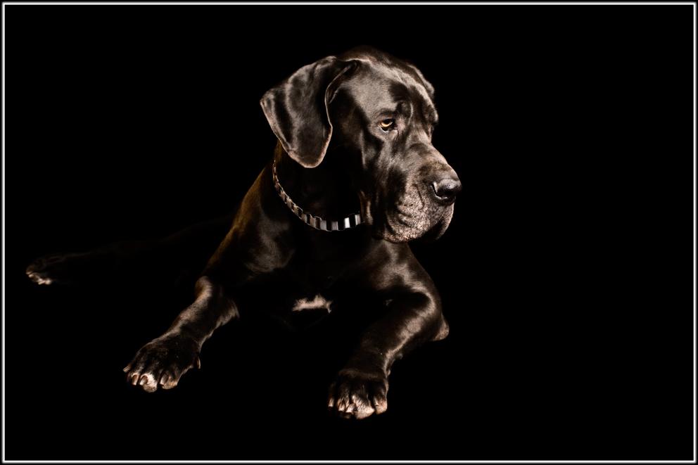 Gwamy - eine Dogge - II