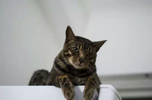 Gwenval mon chat bengal