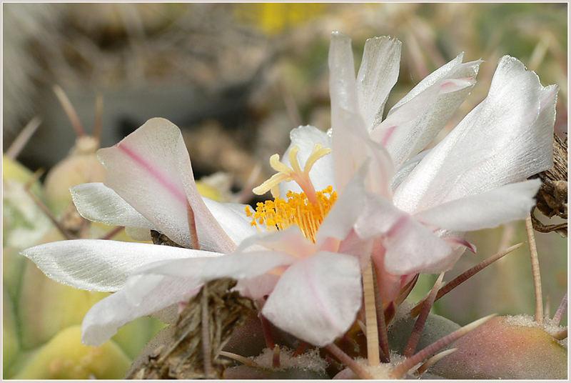 Gymno Blüte