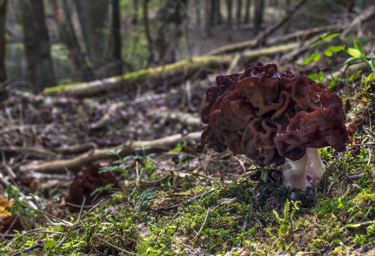Gyromitra esculenta oder einfach nur Frühjahrs-Lorchel