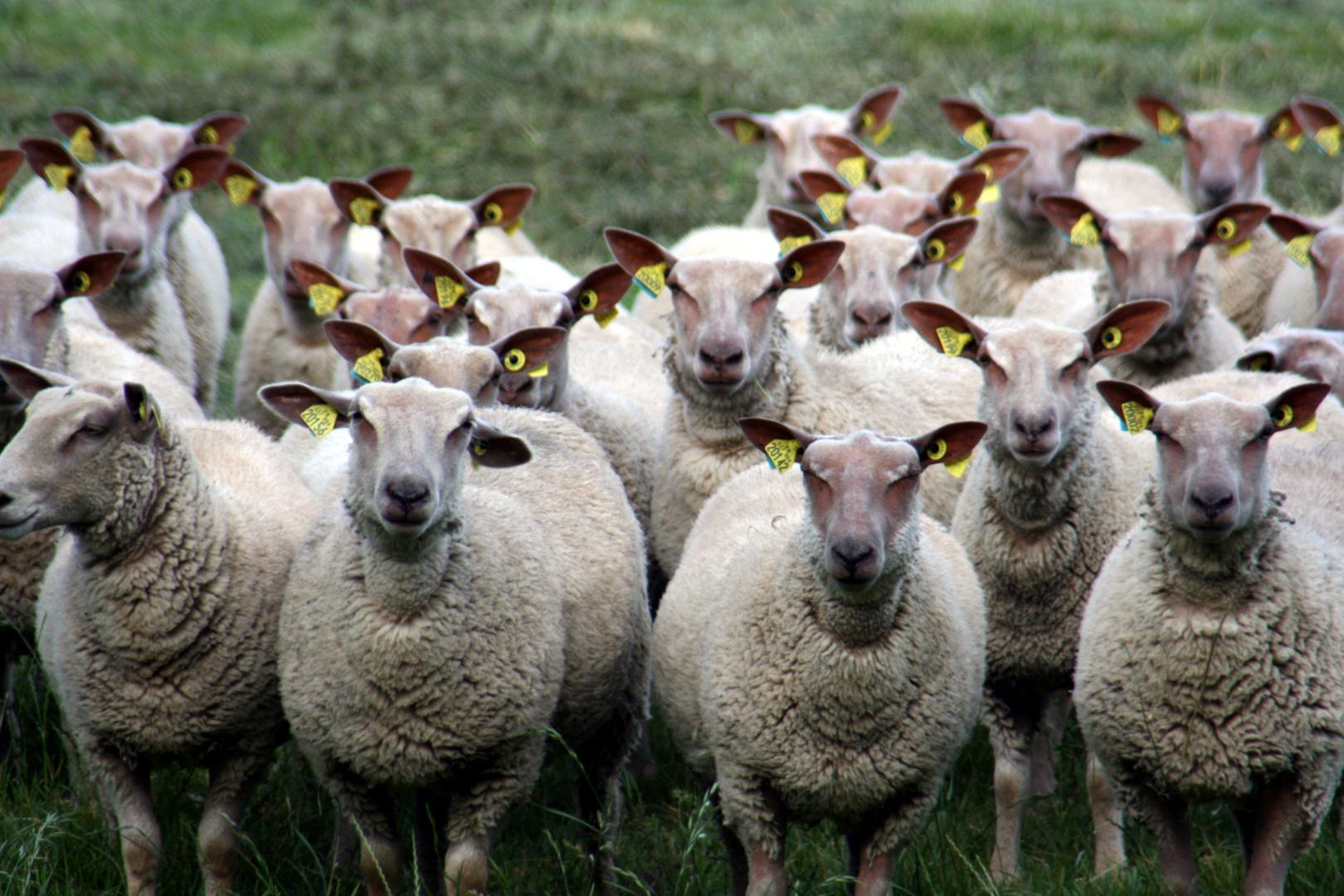 Ha, noch nie ein Schaf gesehen?