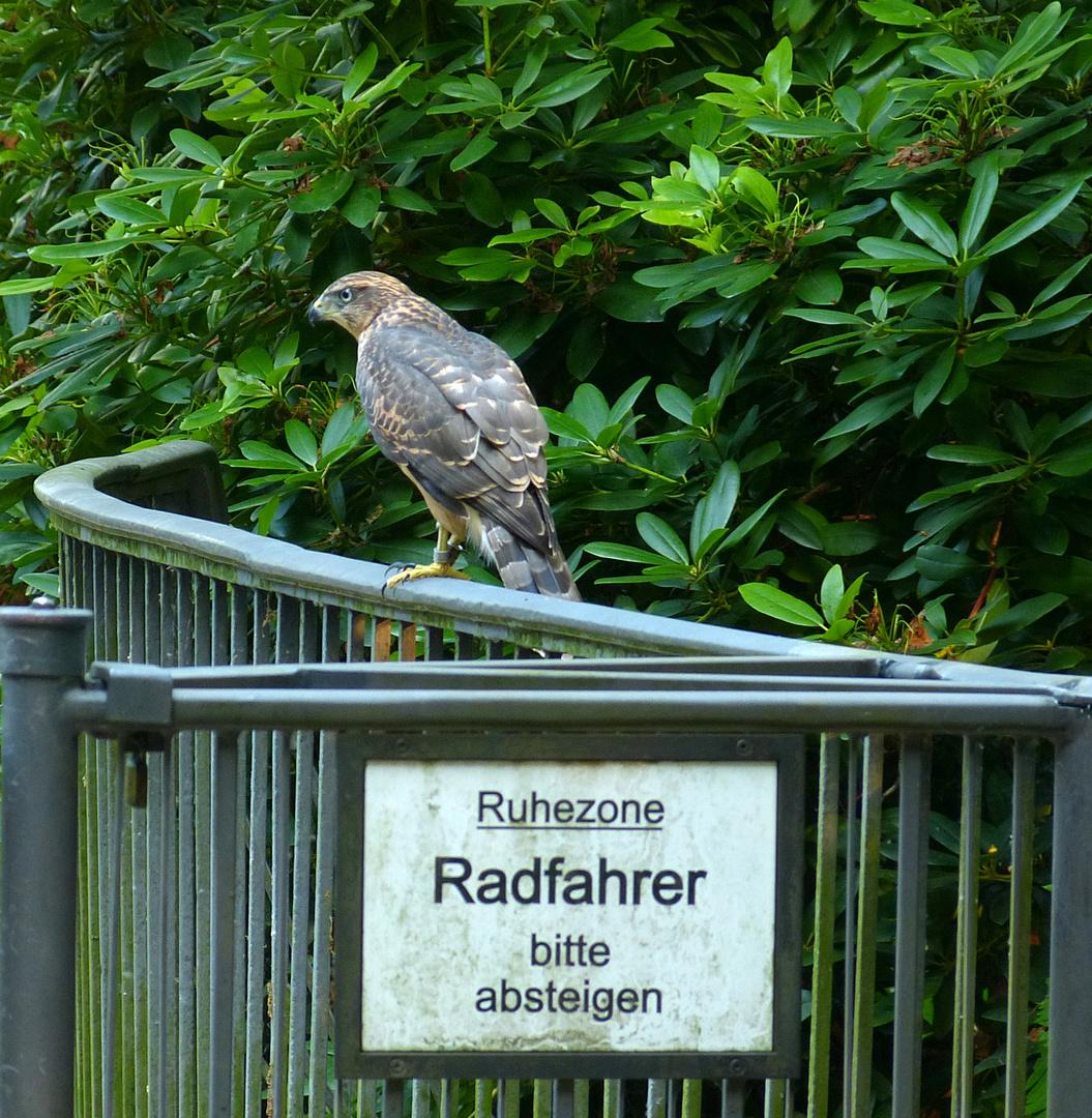 Habicht - in einem großen Park mitten in Berlin...