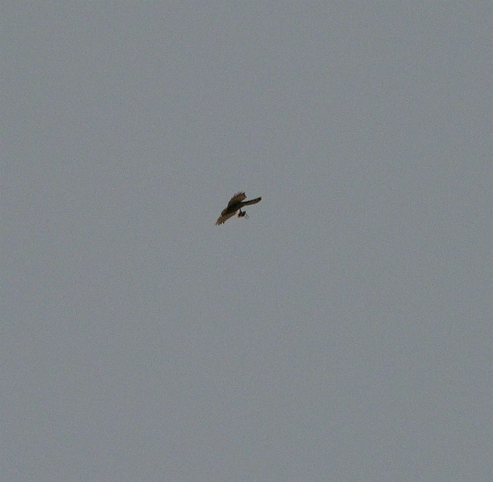 Habicht in großer Höhe mit Vogel in den Fängen