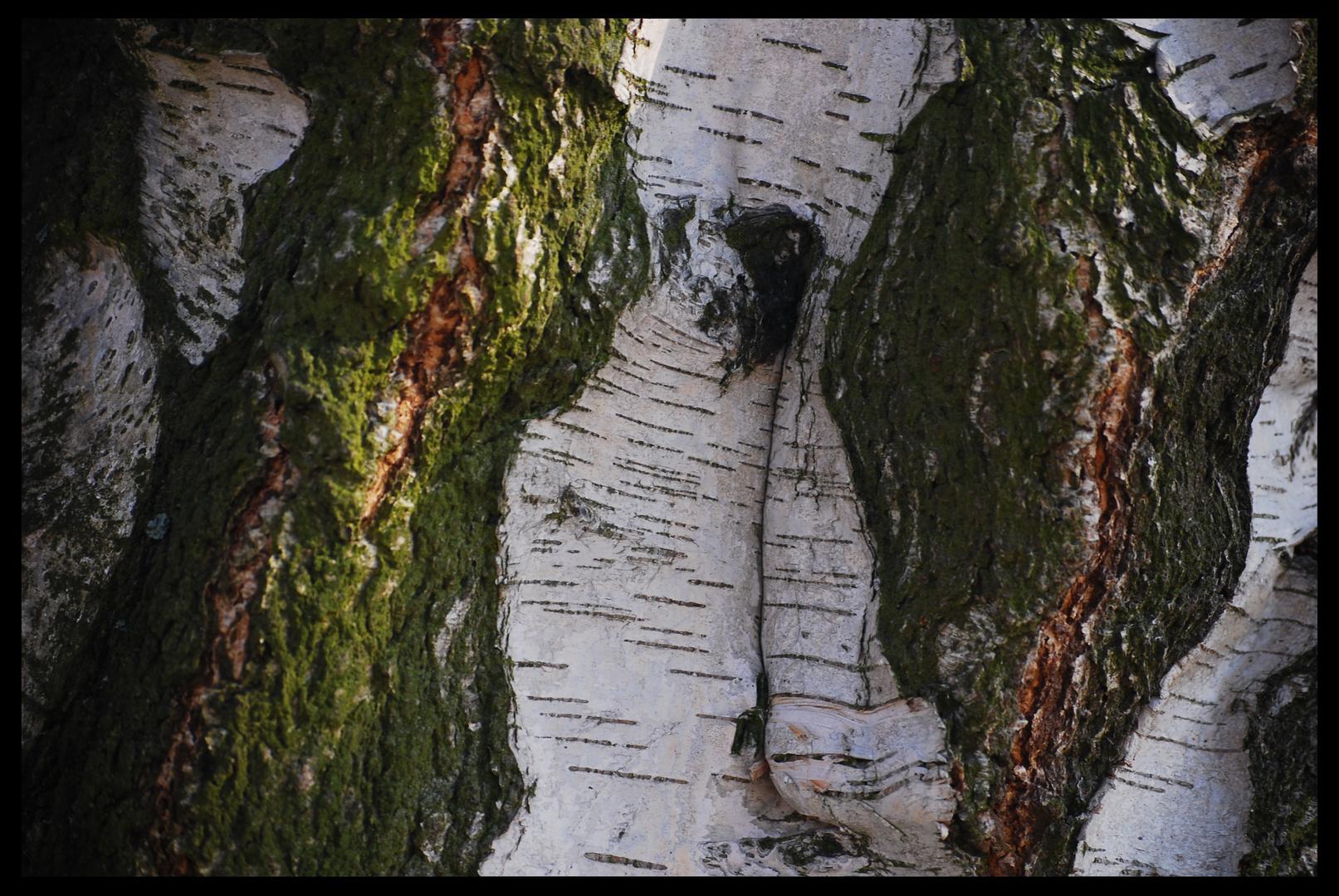 habitat birch tree