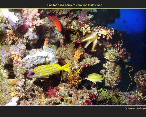Habitat della barriera corallina Maldiviana
