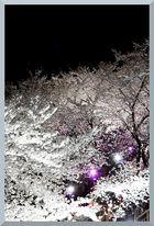 HADONG Cherry Blossom VI