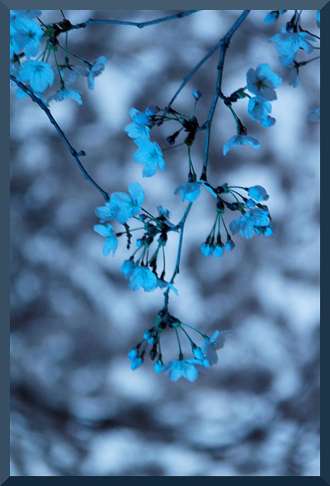 HADONG/Korea - Cherry Blossom III