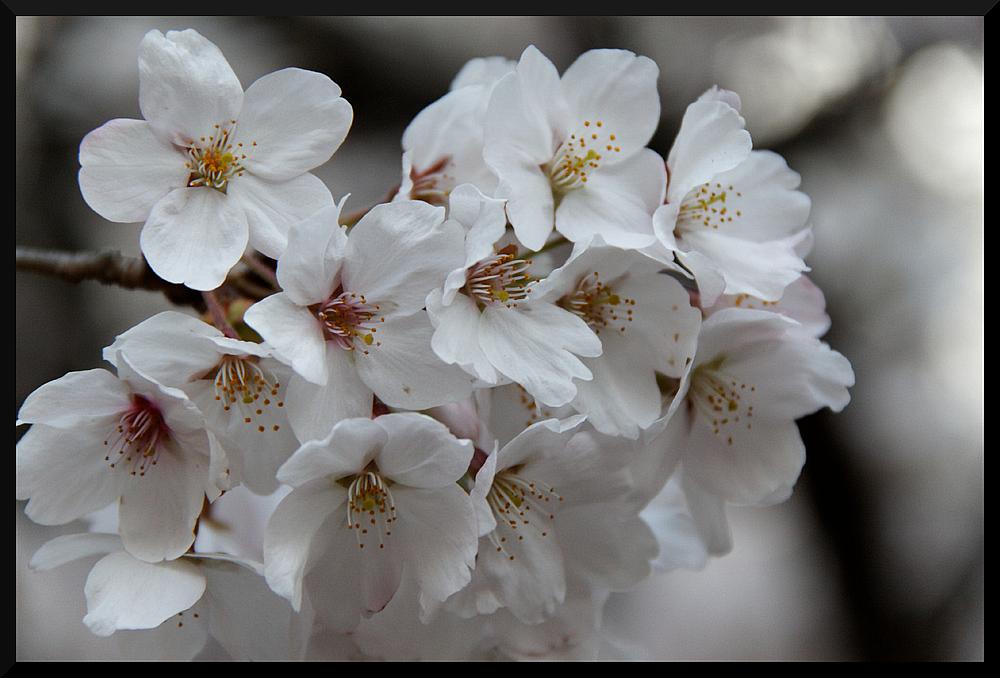 HADONG/Korea - Cherry Blossom XXI