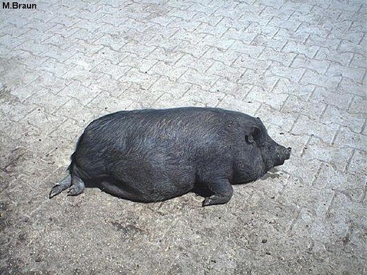 Hängebauchschwein im Tierpark