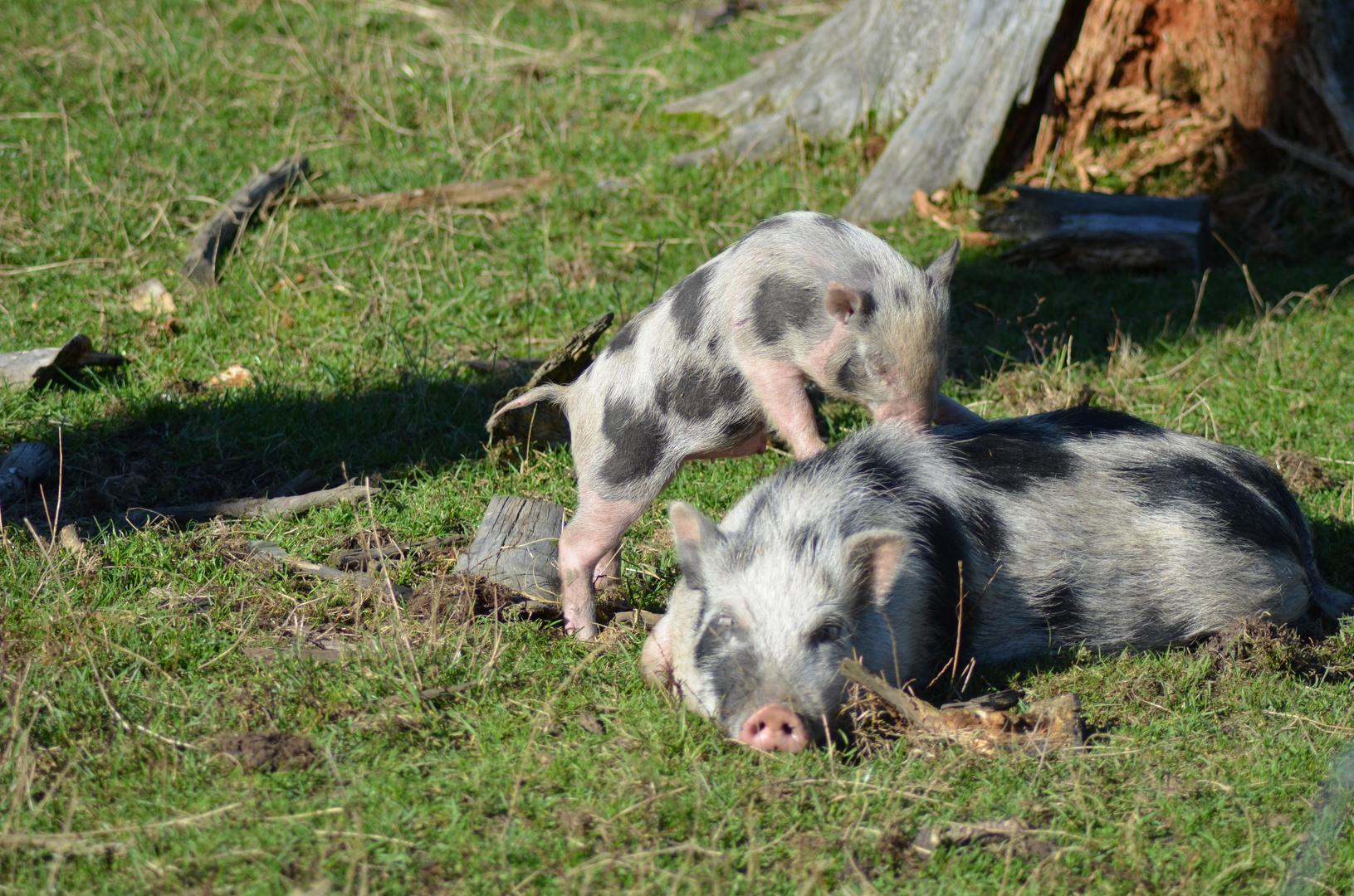 """Hängebauchschwein """"Mutter und Kind"""""""
